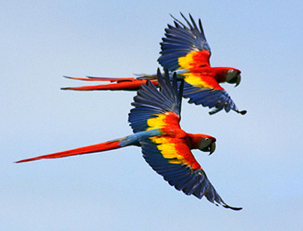 Parrot_Macaw_frontpicture.jpg