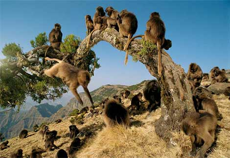 gelada-monkeys.jpg