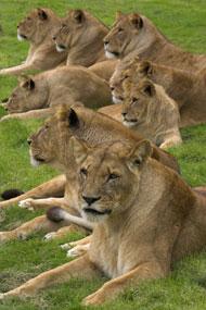 pride_of_lions.jpg