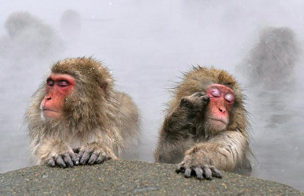 the_macaques_or_snow_monkeys_soak_in_the_hot_springs.jpg